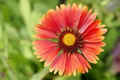 Chrysanthemum. The close-up of red chrysanthemum Stock Photos