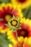 Chrysanthemum. The close-up of chrysanthemum bud Stock Photography