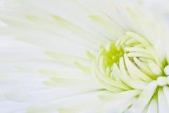 chrysanthemum Fotografering för Bildbyråer