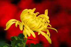 Chrysanthemum Images libres de droits