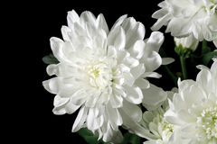 Chrysanthemum. On a black background Royalty Free Stock Photo