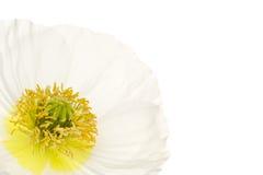 Chrysanthemum Royalty Free Stock Photo