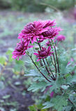 Chrysanthemum Royaltyfria Foton