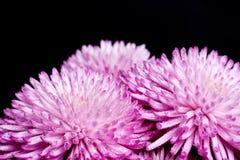 Chrysanthemum Royaltyfri Foto