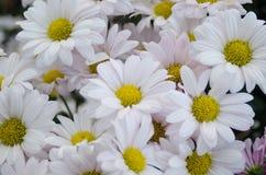 Chrysanthemum. Beautiful white chrysanthemum flower background Royalty Free Stock Image