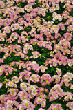 Chrysanthemum. Flowers in the garden royalty free stock photos