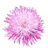 Chrysanthemum 3 Royaltyfria Foton