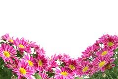Chrysanthemum. Isolated on white background Stock Images