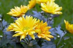 Chrysanthemum Photographie stock libre de droits