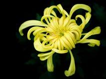chrysanthemum Arkivbild