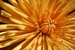 Chrysanthemum. Close-up of an orange chrysanthemum flower Royalty Free Stock Photos