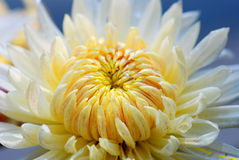 Chrysanthemum. White Chrysanthemum flower in full bloom,radiate and showy petals Royalty Free Stock Photo