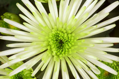 chrysanthemum Imagem de Stock Royalty Free