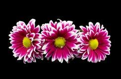chrysanthemum Fotografia de Stock Royalty Free