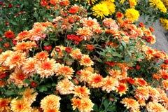 chrysanthemum Fotos de Stock Royalty Free