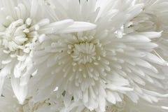 chrysanthemum arkivfoto