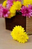 chrysanthemum Imagem de Stock Royalty Free