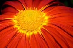 Chrysanthemum. Close-up on orange Chrysanthemum stock photos