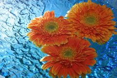 Chrysanthemum. Floating on water stock photography
