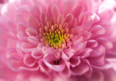 Chrysanthemum. Pink Chrysanthemum close up Royalty Free Stock Photography