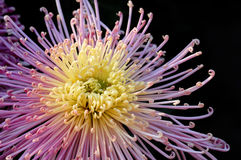 chrysanthemum Royaltyfria Bilder