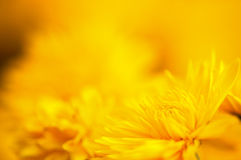 Chrysanthemum. Yellow chrysanthemums in full bloom before the background Royalty Free Stock Image