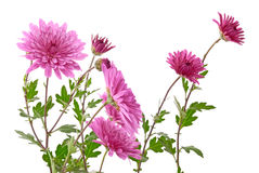 Chrysanthemum Royalty Free Stock Photos