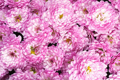 Chrysanthemum Royalty Free Stock Photography
