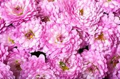 chrysanthemum royaltyfri fotografi
