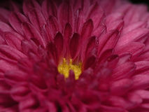 Chrysanthemum. A mum close up Stock Photo