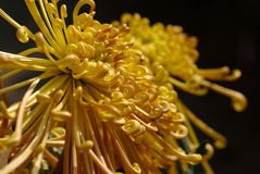 Chrysanthemum Photos libres de droits