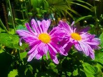 chrysanthemum Imagens de Stock Royalty Free
