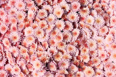 Chrysanthemum. Many pink chrysanthemum blossom as a background Royalty Free Stock Images