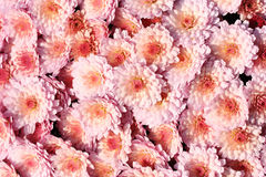 Chrysanthemum. Many pink chrysanthemum blossom as a background Stock Photo