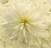 Chrysanthemum. Wedding flower. Yellow coloured chrysanthemum Royalty Free Stock Photos