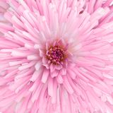 Chrysanthemum. Full of pink colour flower, chrysanthemum Royalty Free Stock Photography
