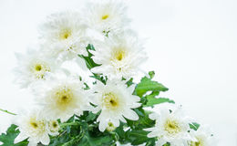 chrysanthemum Foto de Stock Royalty Free