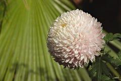 chrysanthemum foto de stock royalty free