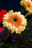 chrysanthemum Royaltyfri Foto