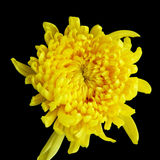 Chrysanthemum Photo stock