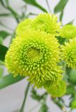 Chrysanthemum Photo libre de droits