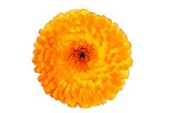 Chrysanthemum. Macro shot of a yellow chrysanthemum in full bloom Royalty Free Stock Images