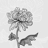 chrysanthemum ilustração stock