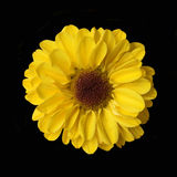 Chrysanthemum. Yellow chrysanthemum Royalty Free Stock Image