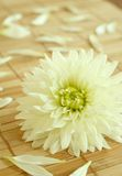 Chrysanthemum And Petals On Bamboo Royalty Free Stock Photo