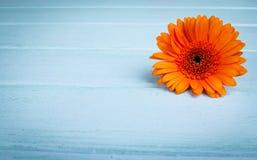 Chrysanthemum on aquamarine planks Stock Image
