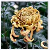 The chrysanthemum in the autumn Beihai Park. Chrysanthemum, perennial herbaceous plants, leaves ovate with a handle, the edge has a notch or serrate, autumn Royalty Free Stock Image