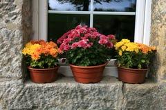 Chrysanthemum autumn flowers, decorations. Stock Images