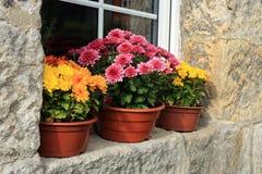 Chrysanthemum autumn flowers, decorations. Stock Photo