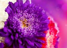 Chrysanthemum autumn flowers design Stock Photos